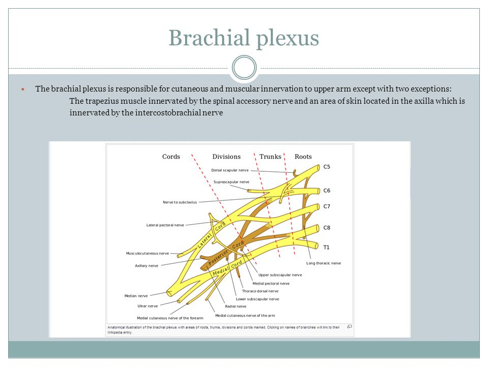 Brachial plexus The brachial plexus is responsible for cutaneous and muscular innervation to upper arm except with two exceptions: