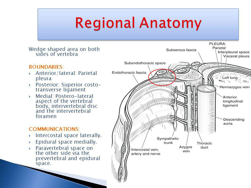 Regional Anatomy Wedge shaped area on both sides of vertebra