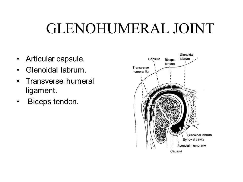 GLENOHUMERAL JOINT Articular capsule. Glenoidal labrum.