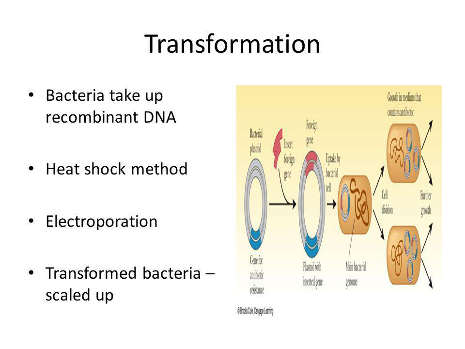 Transformation Bacteria take up recombinant DNA Heat shock method