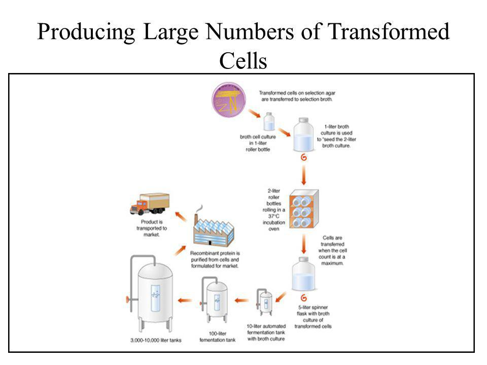 Producing Large Numbers of Transformed Cells