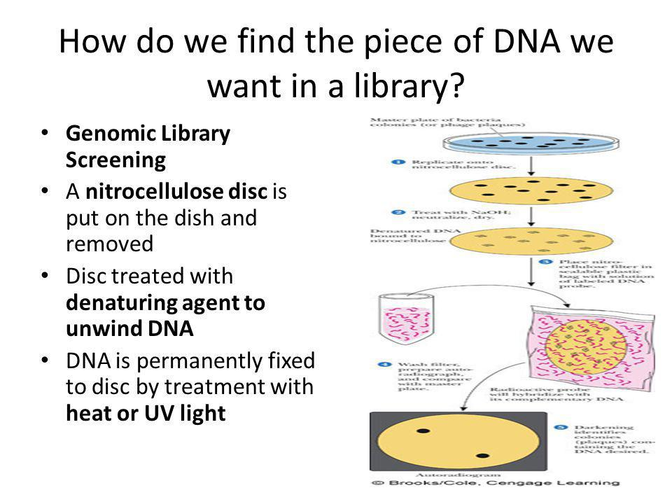 How do we find the piece of DNA we want in a library