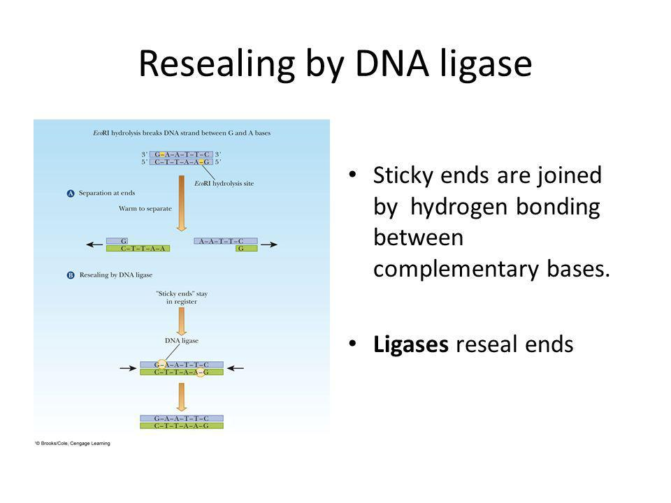 Resealing by DNA ligase