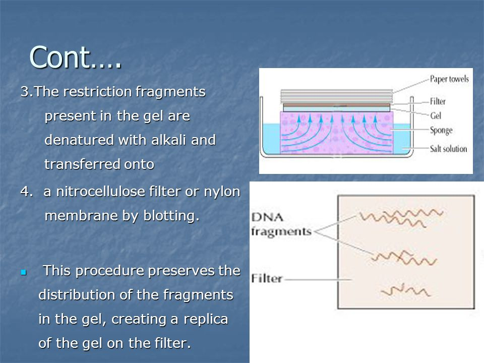 Cont…. 3.The restriction fragments present in the gel are denatured with alkali and transferred onto.