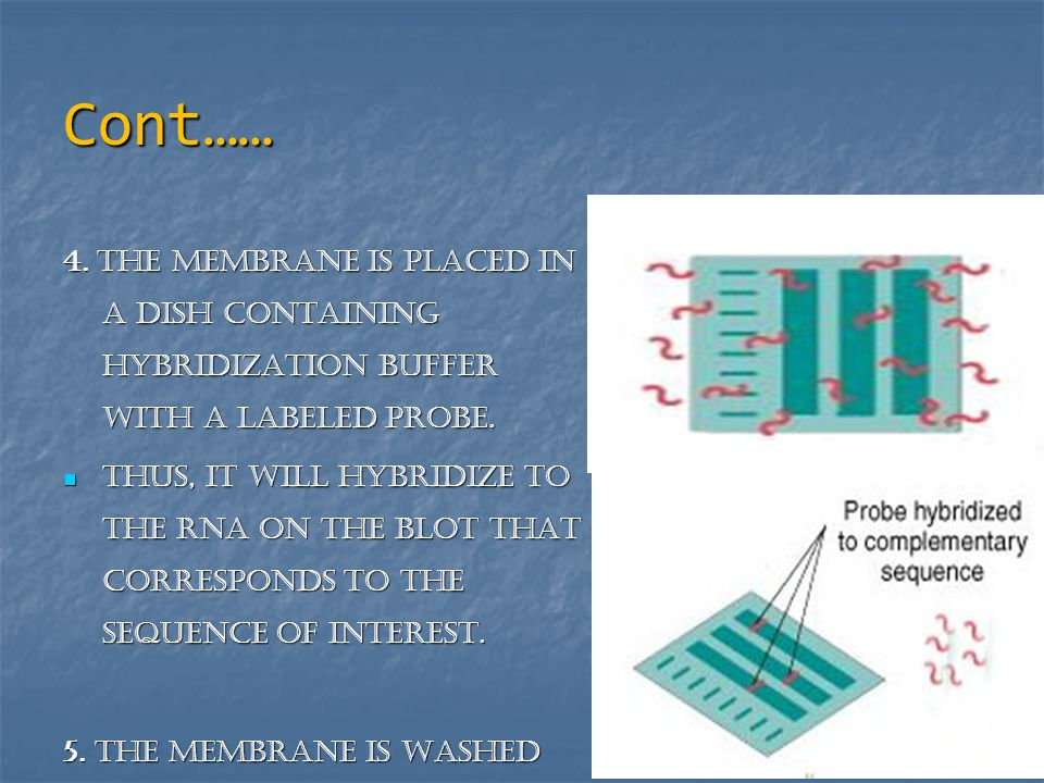 Cont…… 4. The membrane is placed in a dish containing hybridization buffer with a labeled probe.