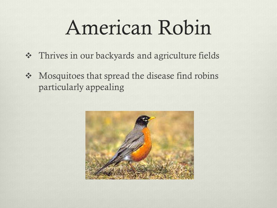 American Robin Thrives in our backyards and agriculture fields