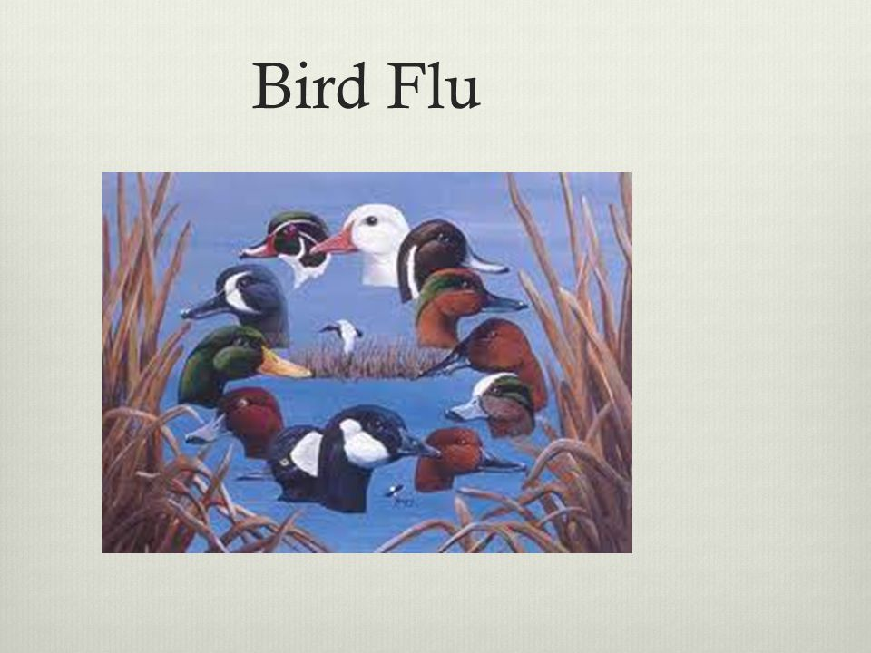 Bird Flu A deadly strain of the avian virus called H5N1 has spread to humans via contact with live or dead poultry.