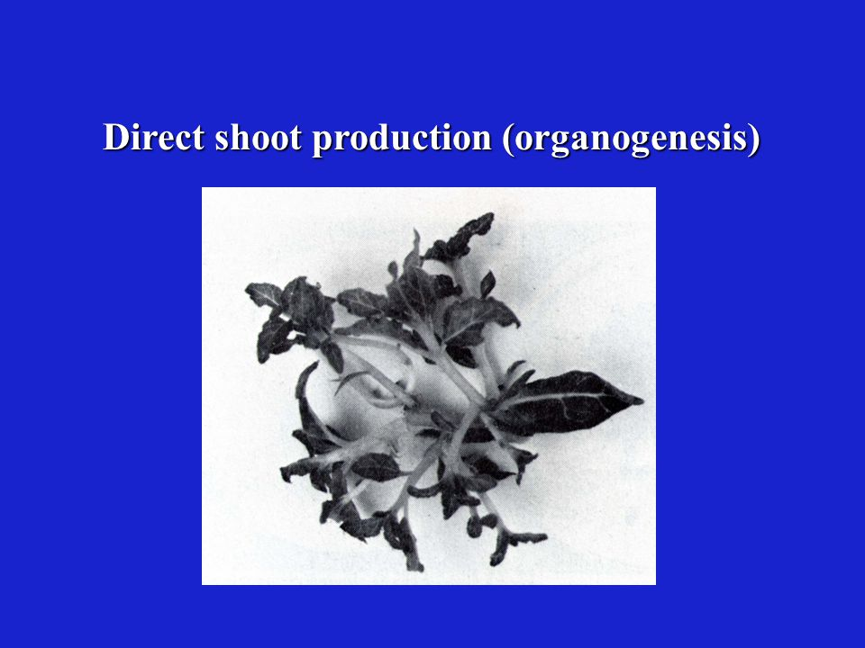 Direct shoot production (organogenesis)