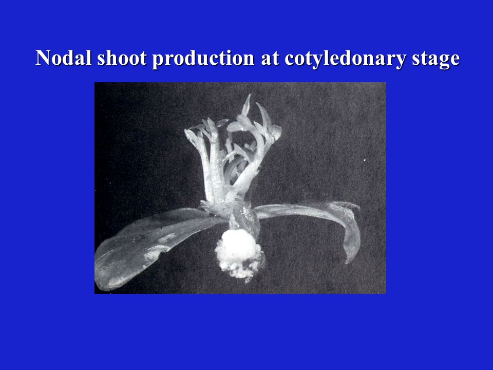 Nodal shoot production at cotyledonary stage