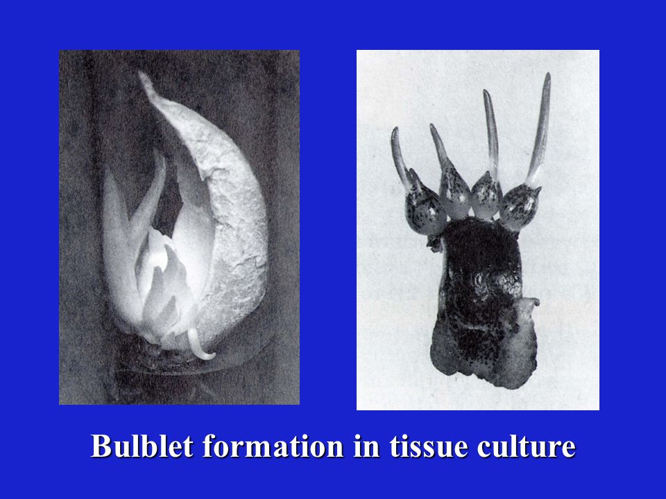 Bulblet formation in tissue culture