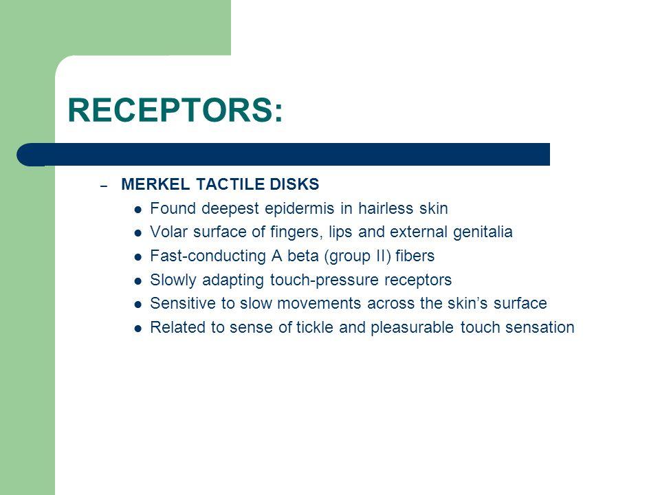 RECEPTORS: MERKEL TACTILE DISKS