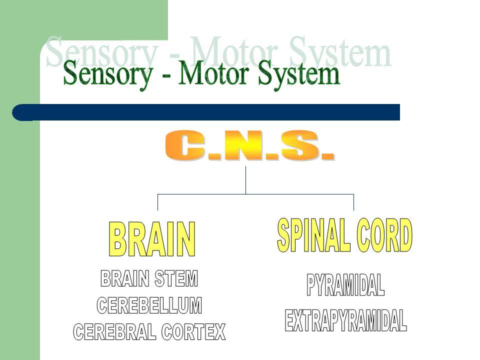 Sensory - Motor System C.N.S. SPINAL CORD BRAIN BRAIN STEM CEREBELLUM