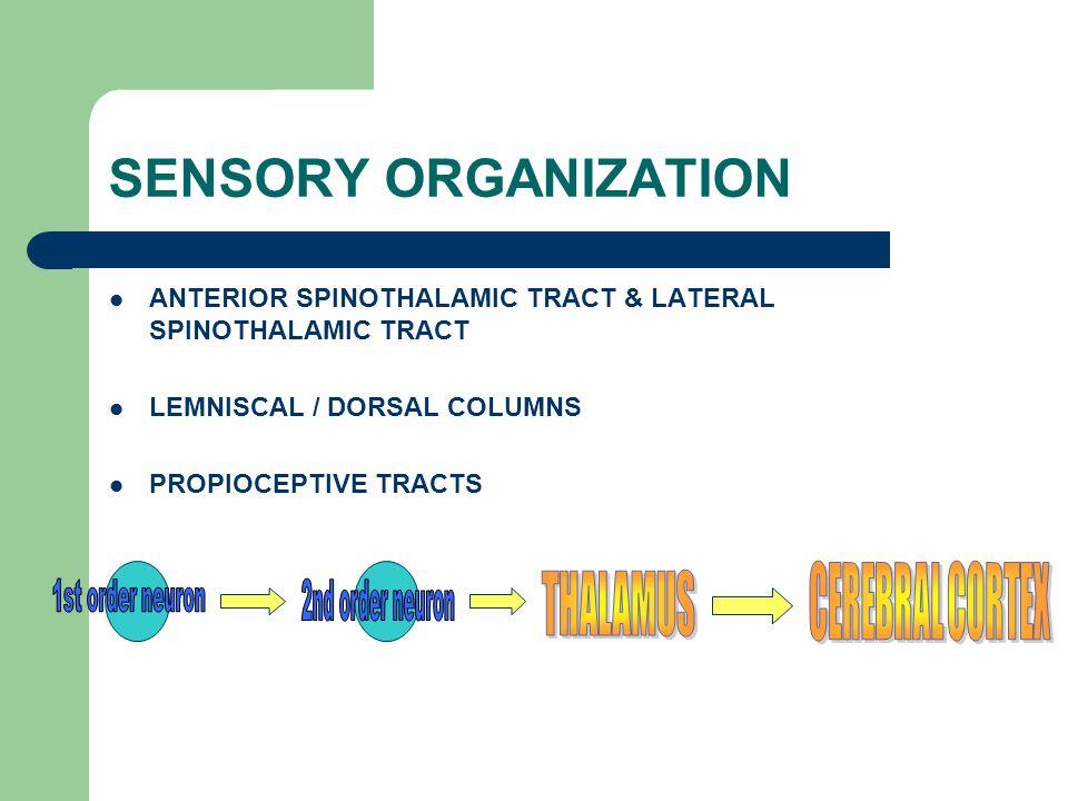 SENSORY ORGANIZATION THALAMUS CEREBRAL CORTEX 1st order neuron