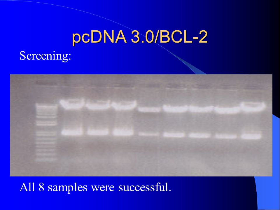 pcDNA 3.0/BCL-2 Screening: All 8 samples were successful.
