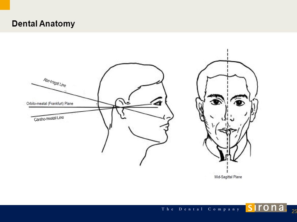 Dental Anatomy 25