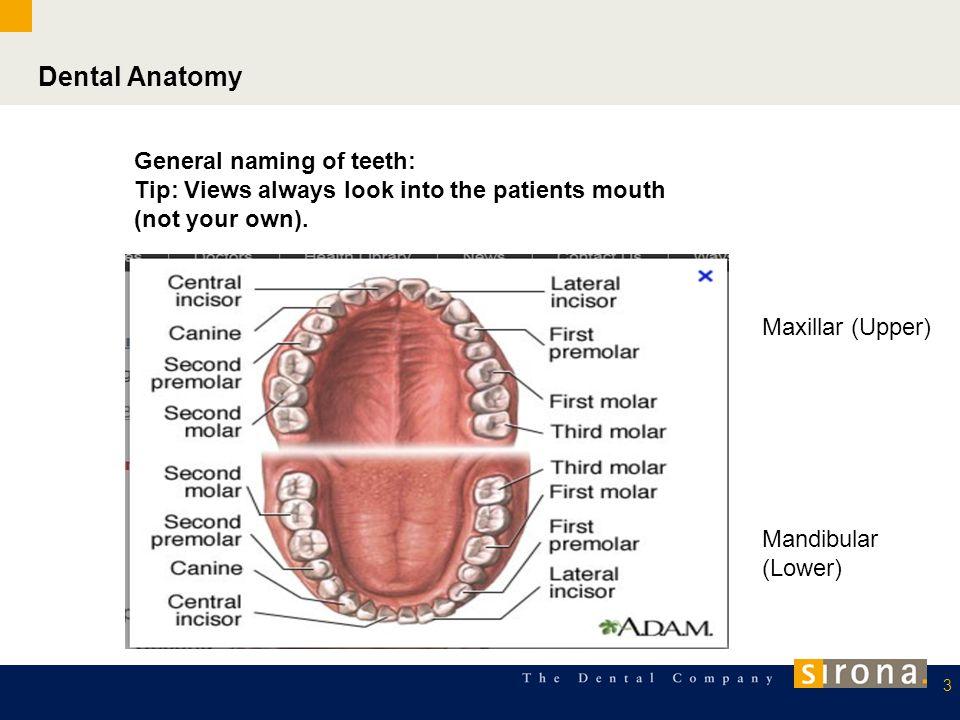 Dental Anatomy General naming of teeth: