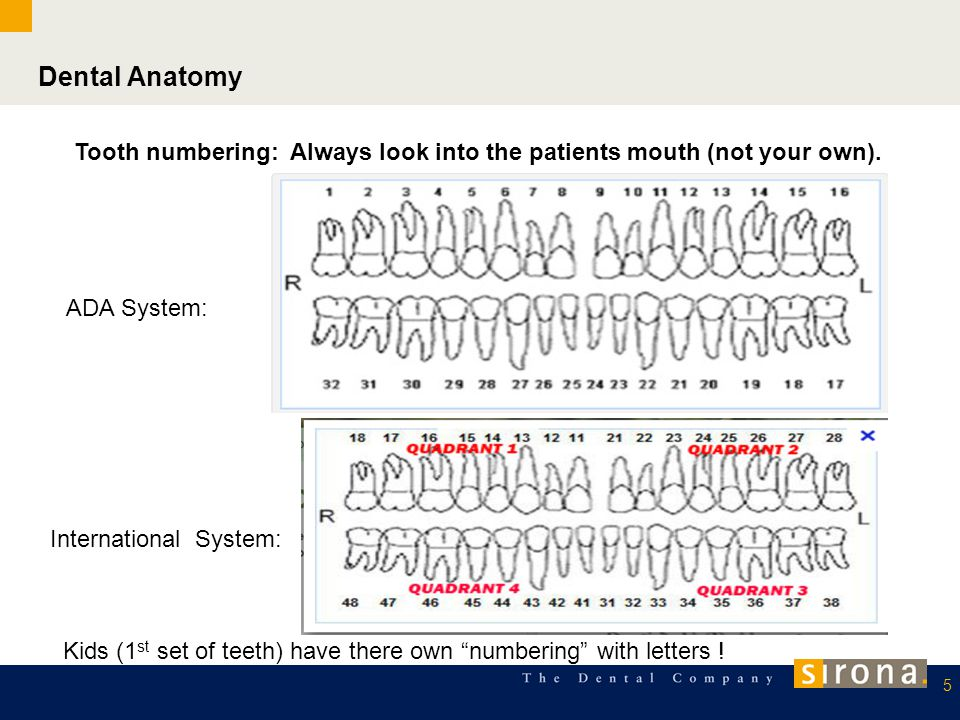 Dental Anatomy Tooth numbering: Always look into the patients mouth (not your own). ADA System: International System:
