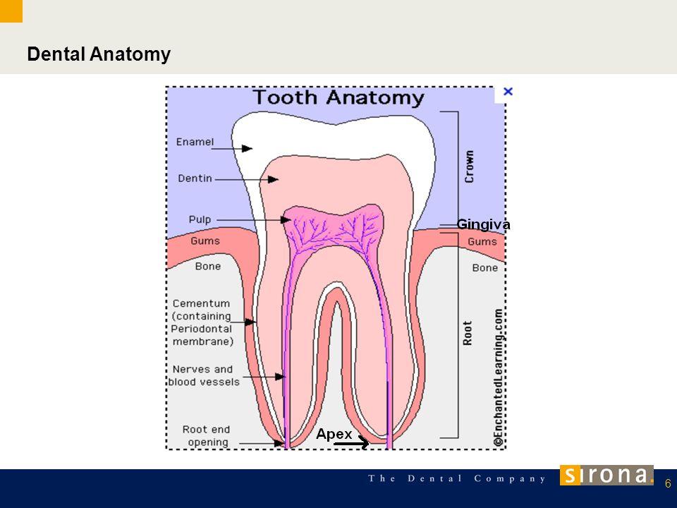 Dental Anatomy 6