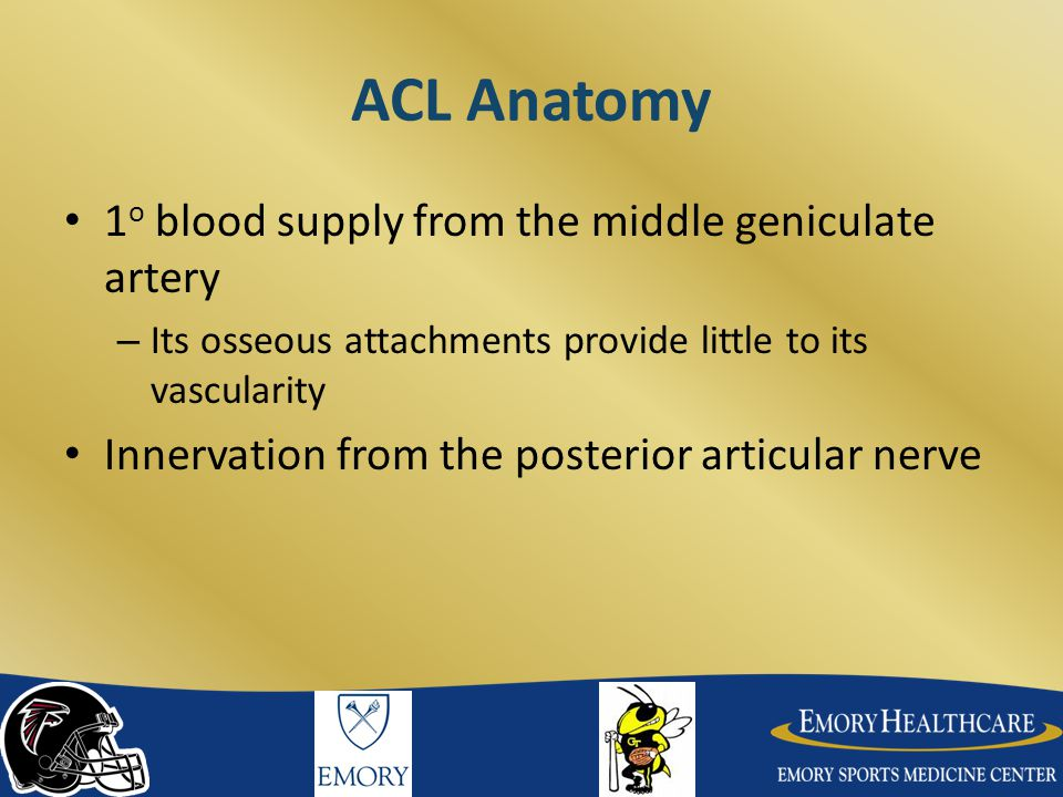 ACL Anatomy 1o blood supply from the middle geniculate artery