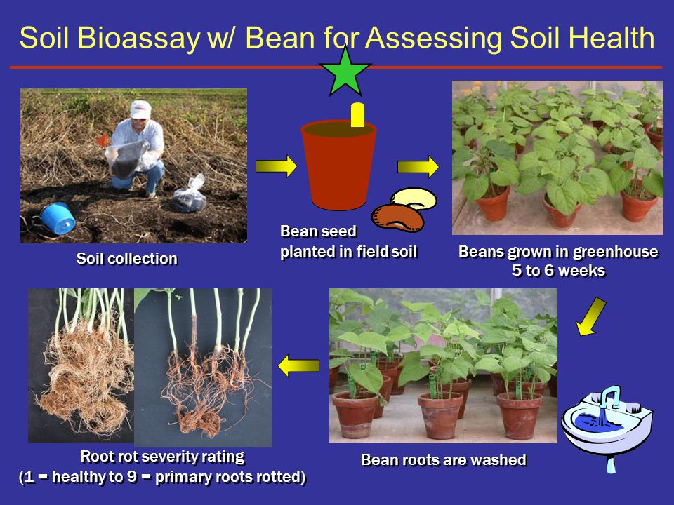 Soil Bioassay w/ Bean for Assessing Soil Health