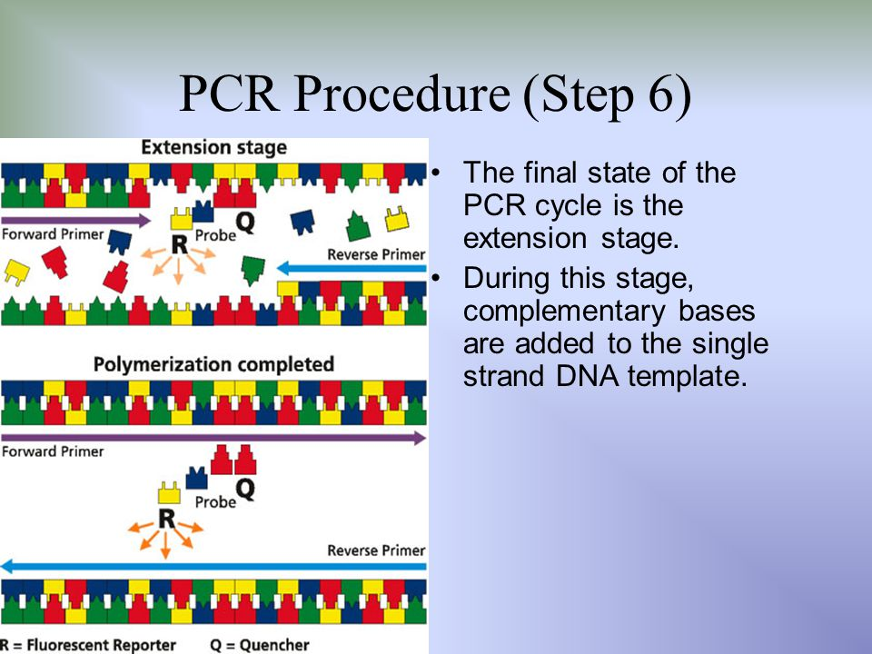 PCR Procedure (Step 6) The final state of the PCR cycle is the extension stage.