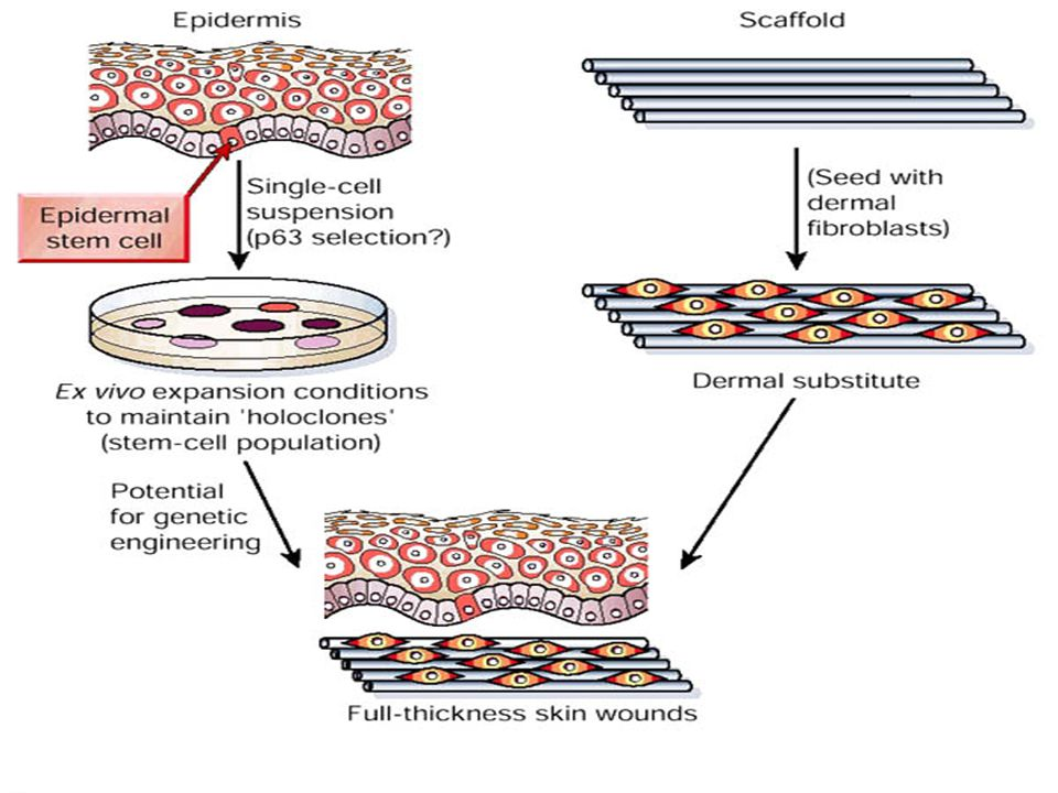 Skin autografts are produced by culturing keratinocytes (which may be sorted for p63, the recently described, epidermal stem cell marker) under appropriate conditions not only to generate an epidermal sheet, but also to maintain the stem cell population (holoclones).