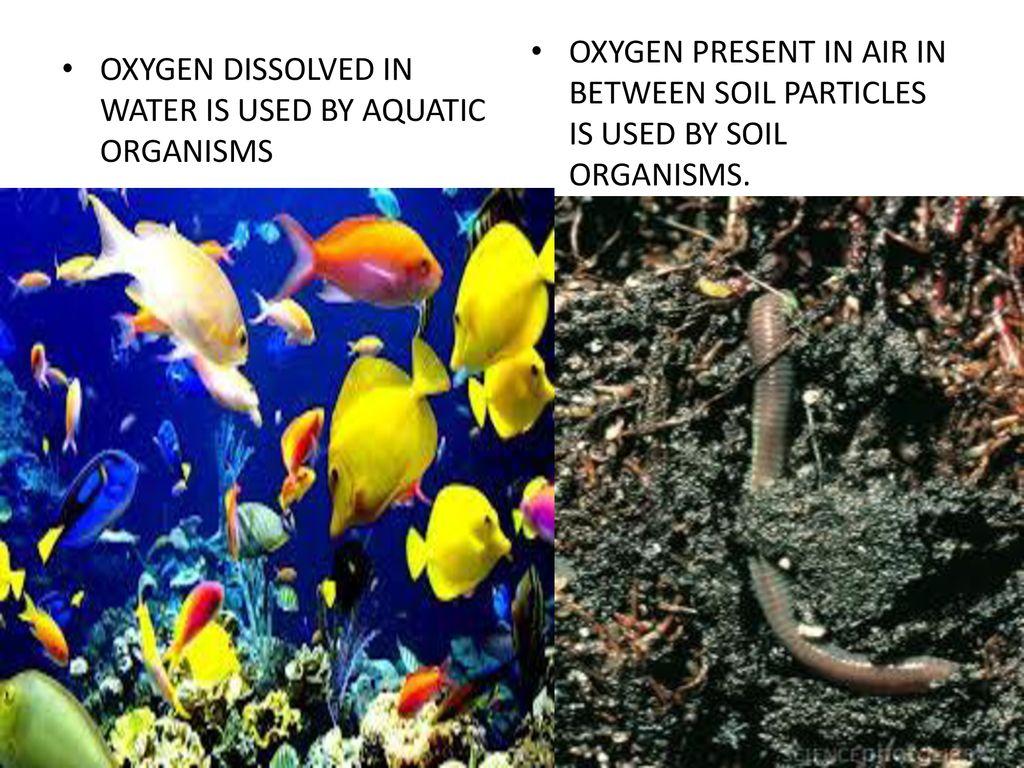OXYGEN PRESENT IN AIR IN BETWEEN SOIL PARTICLES IS USED BY SOIL ORGANISMS.