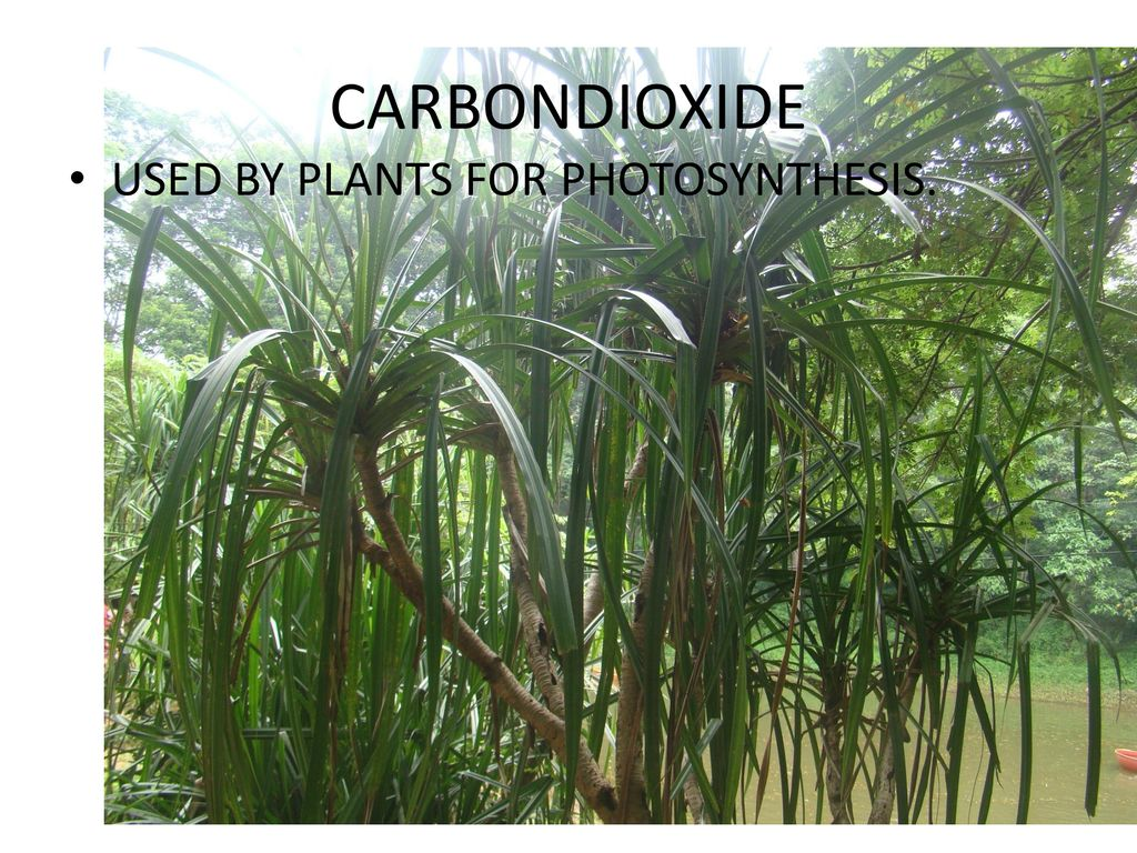 CARBONDIOXIDE USED BY PLANTS FOR PHOTOSYNTHESIS.