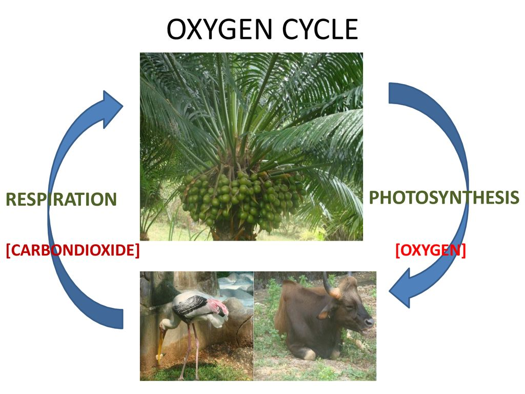 OXYGEN CYCLE PHOTOSYNTHESIS RESPIRATION [CARBONDIOXIDE] [OXYGEN]