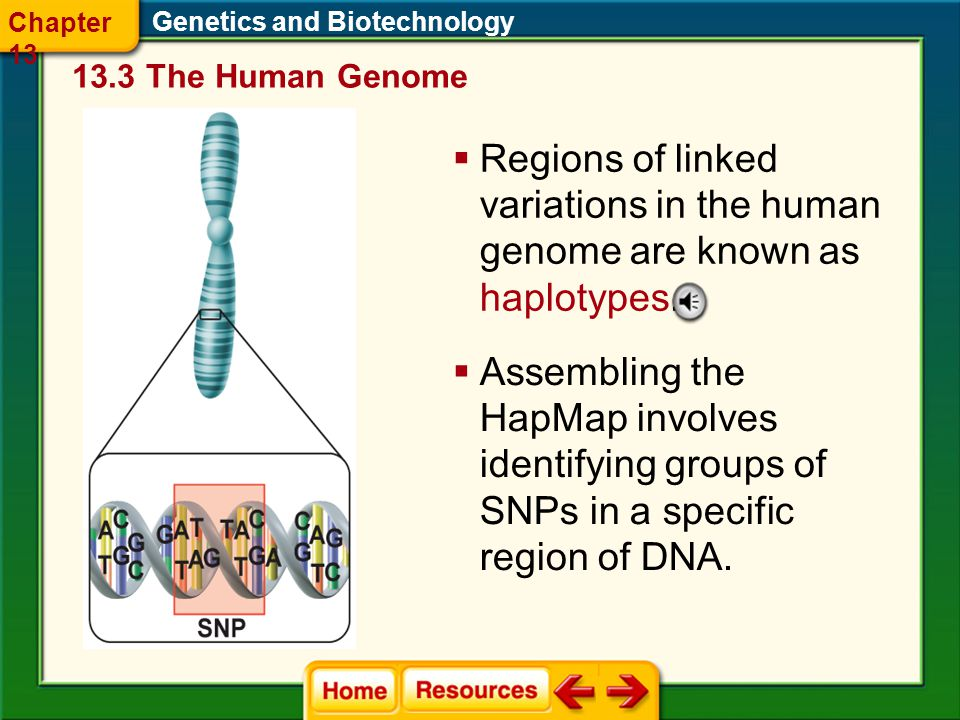 Chapter 13 Genetics and Biotechnology The Human Genome. Regions of linked variations in the human genome are known as haplotypes.