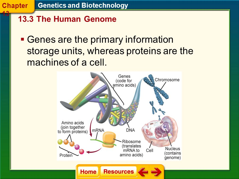 Chapter 13 Genetics and Biotechnology The Human Genome.
