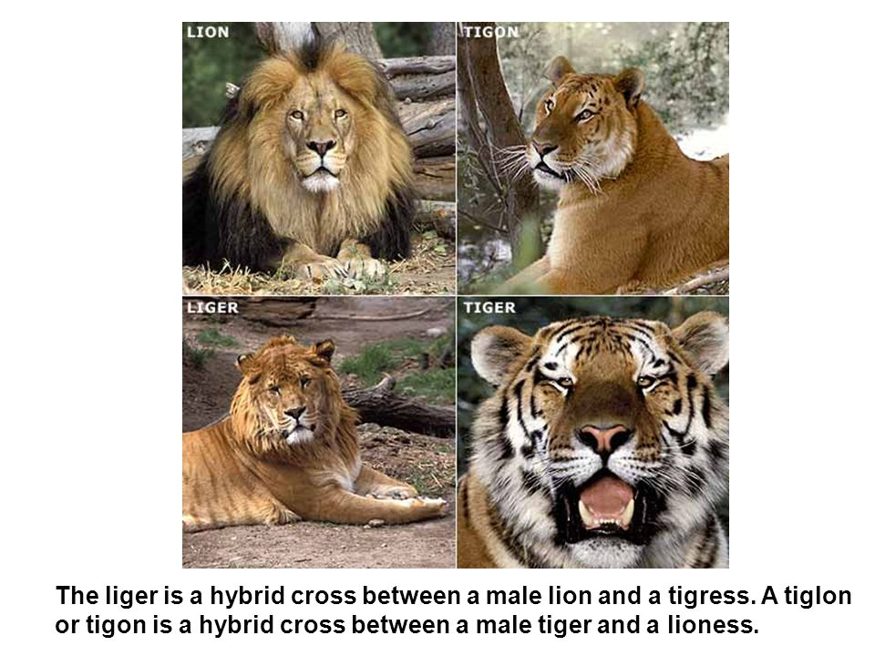 The liger is a hybrid cross between a male lion and a tigress