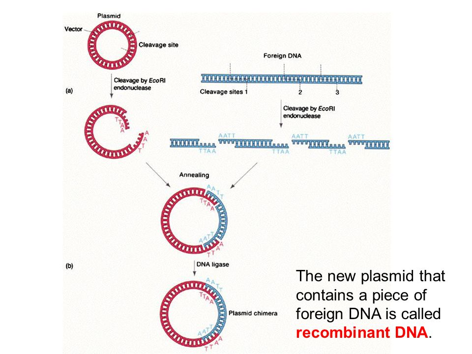 The new plasmid that contains a piece of foreign DNA is called recombinant DNA.