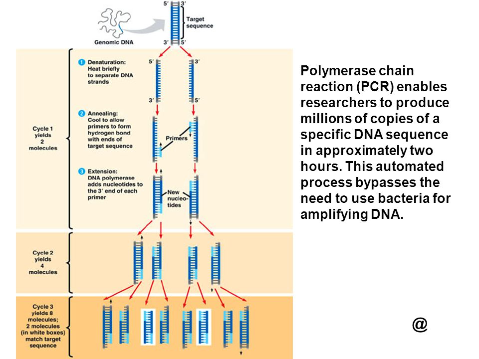 Polymerase chain reaction (PCR) enables researchers to produce millions of copies of a specific DNA sequence in approximately two hours. This automated process bypasses the need to use bacteria for amplifying DNA.