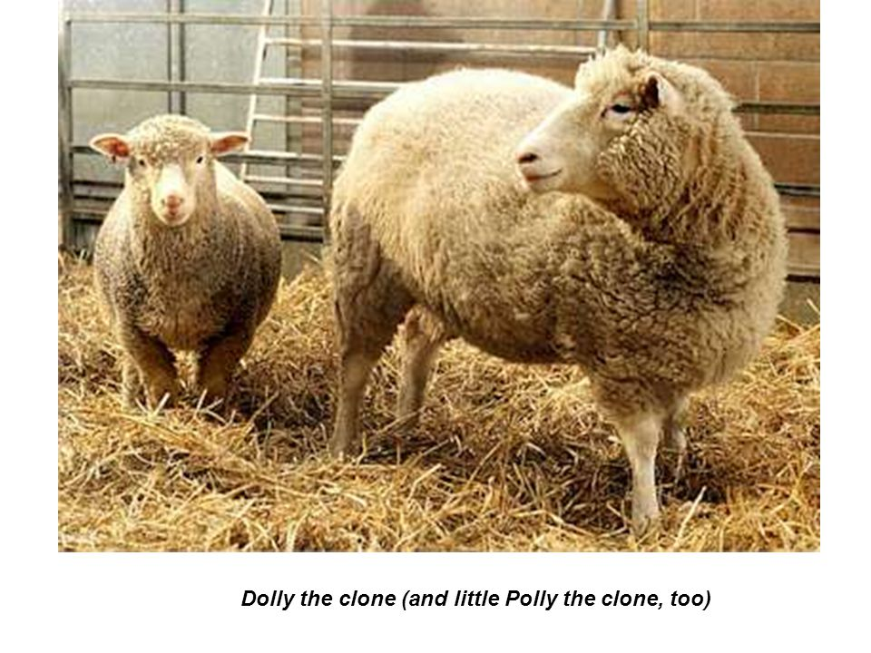Dolly the clone (and little Polly the clone, too)