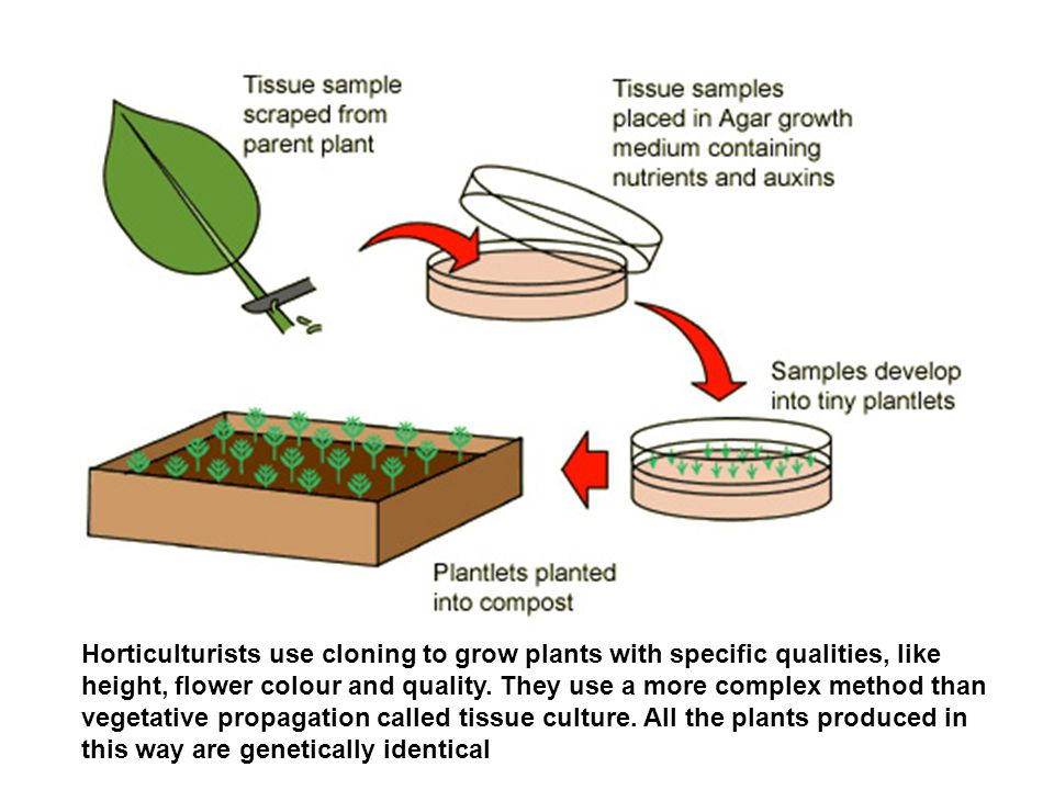 Horticulturists use cloning to grow plants with specific qualities, like height, flower colour and quality.
