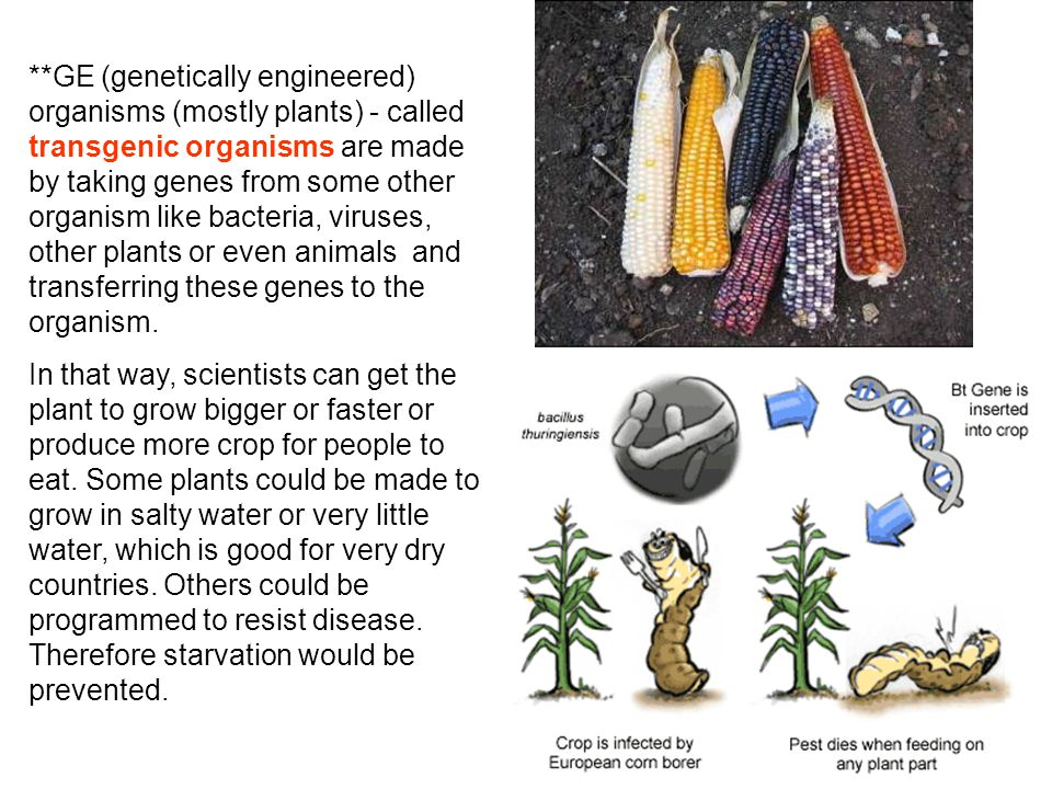 **GE (genetically engineered) organisms (mostly plants) - called transgenic organisms are made by taking genes from some other organism like bacteria, viruses, other plants or even animals and transferring these genes to the organism.