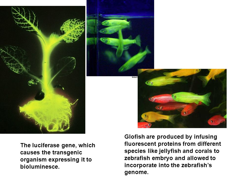 Glofish are produced by infusing fluorescent proteins from different species like jellyfish and corals to zebrafish embryo and allowed to incorporate into the zebrafish's genome.