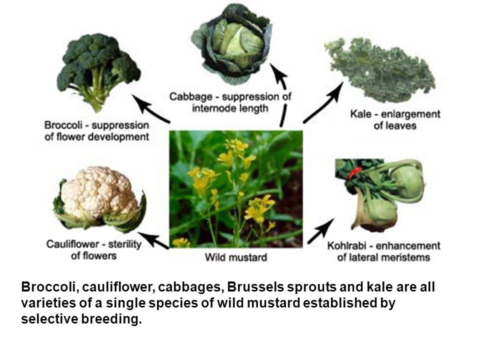 Broccoli, cauliflower, cabbages, Brussels sprouts and kale are all varieties of a single species of wild mustard established by selective breeding.