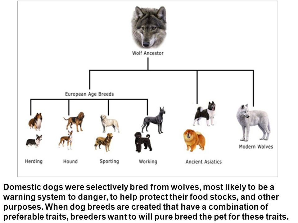 Domestic dogs were selectively bred from wolves, most likely to be a warning system to danger, to help protect their food stocks, and other purposes.