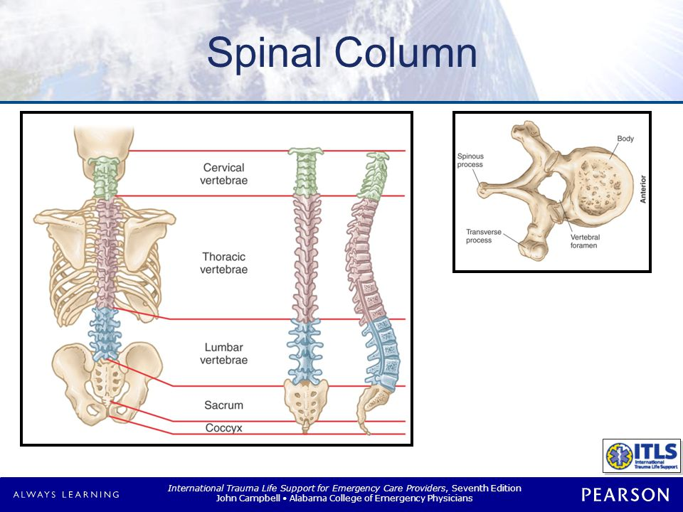 Spinal Cord IMAGE: Figure 11-3 Spinal nerves.