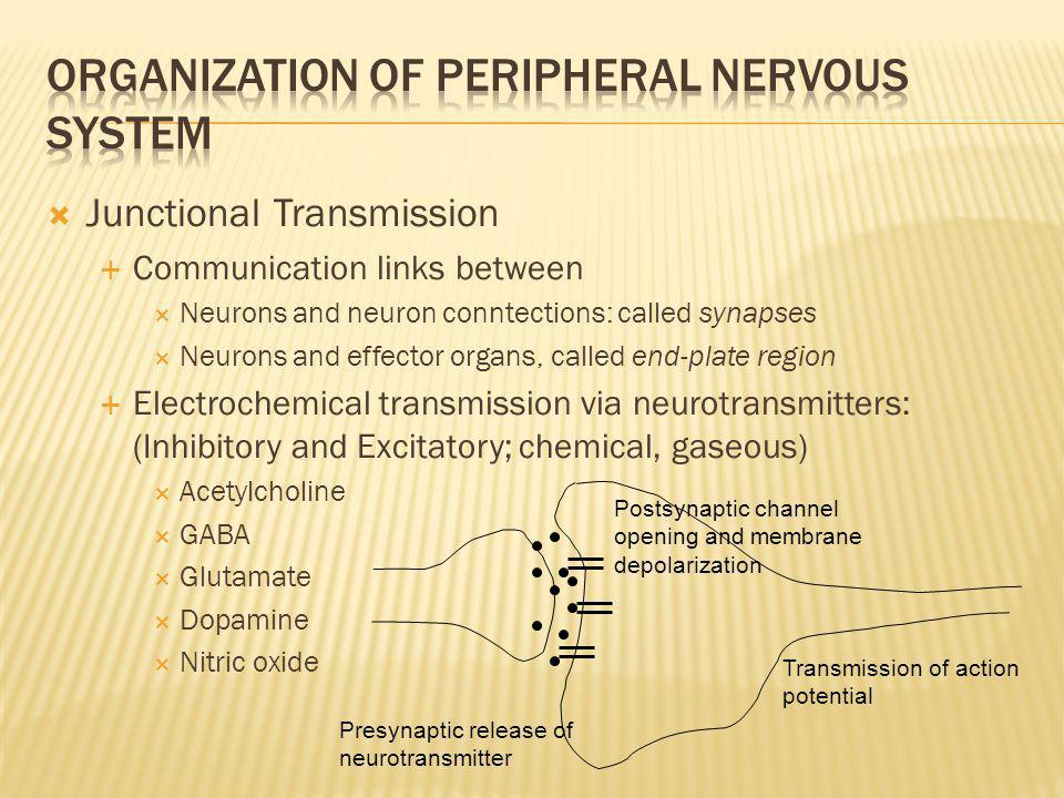 Organization of Peripheral Nervous System