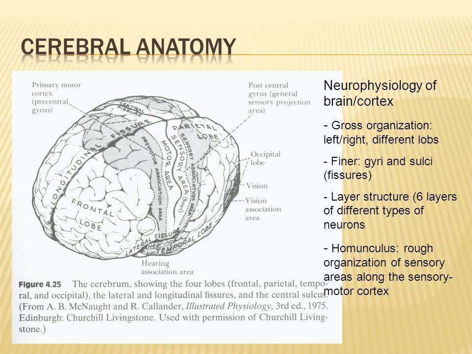 Cerebral Anatomy Neurophysiology of brain/cortex