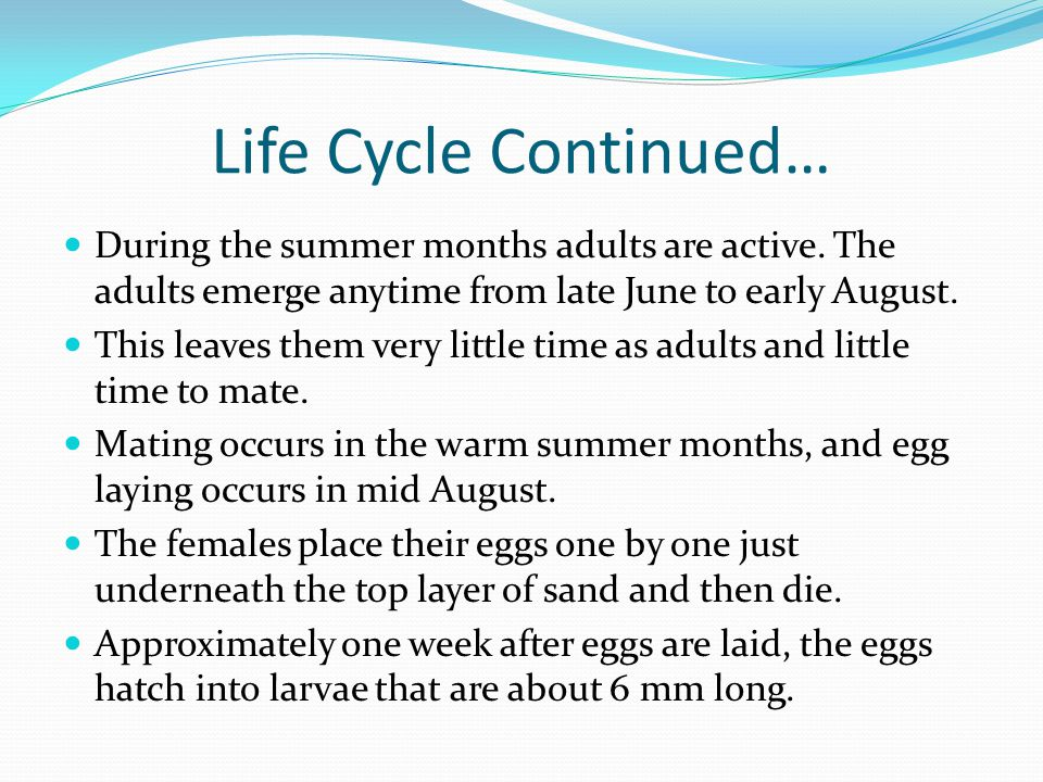 Life Cycle Continued… During the summer months adults are active. The adults emerge anytime from late June to early August.