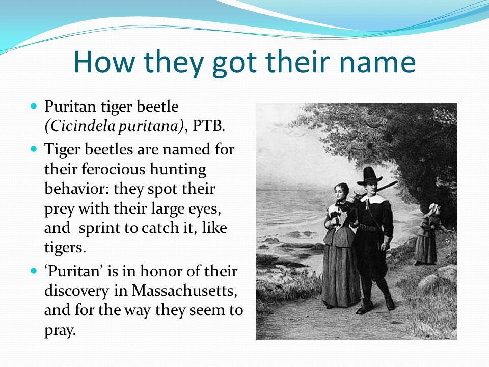 How they got their name Puritan tiger beetle (Cicindela puritana), PTB.