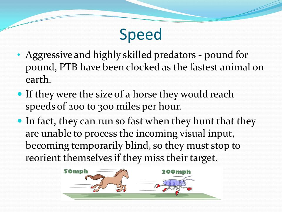 Speed Aggressive and highly skilled predators - pound for pound, PTB have been clocked as the fastest animal on earth.
