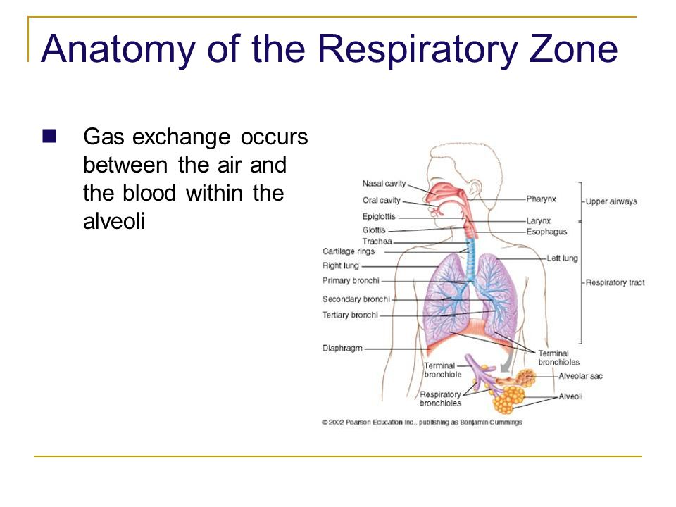 Anatomy of the Respiratory Zone