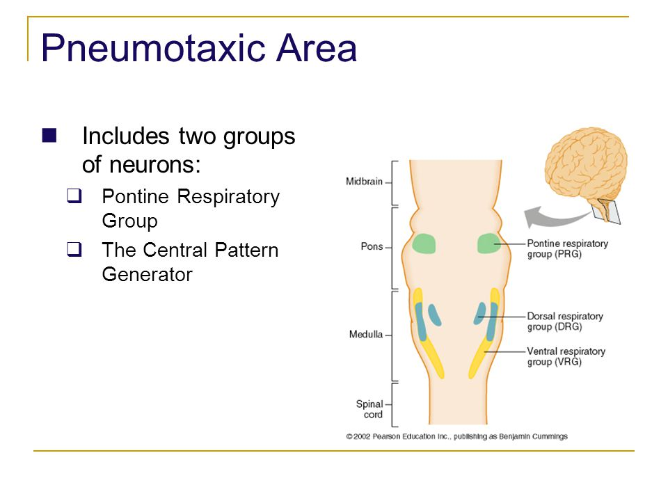 Pneumotaxic Area Includes two groups of neurons: