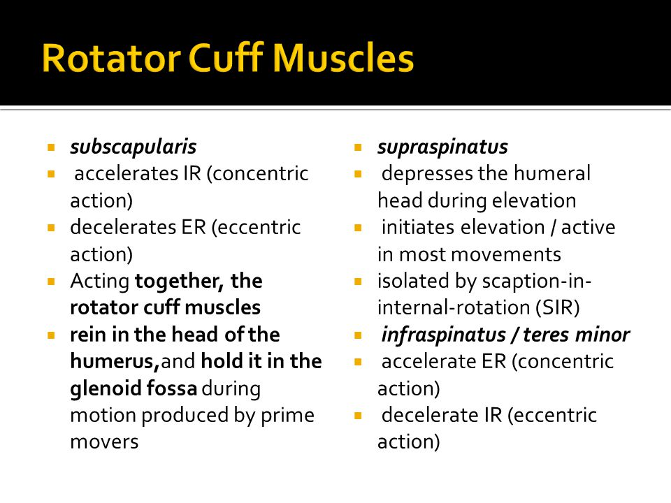 Rotator Cuff Muscles subscapularis accelerates IR (concentric action)