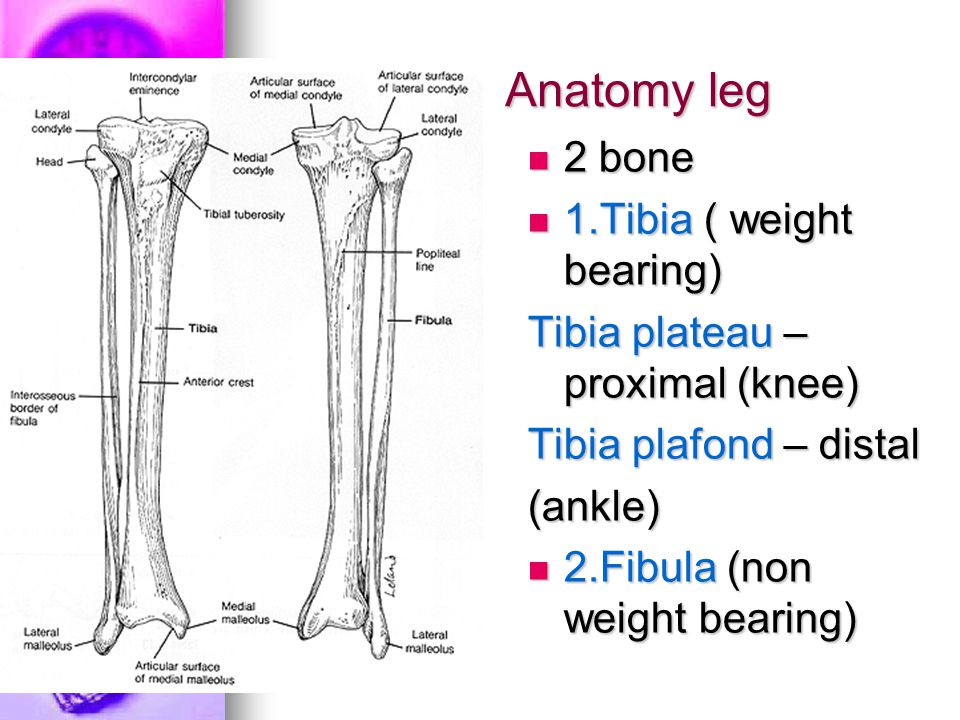 Anatomy leg 2 bone 1.Tibia ( weight bearing)